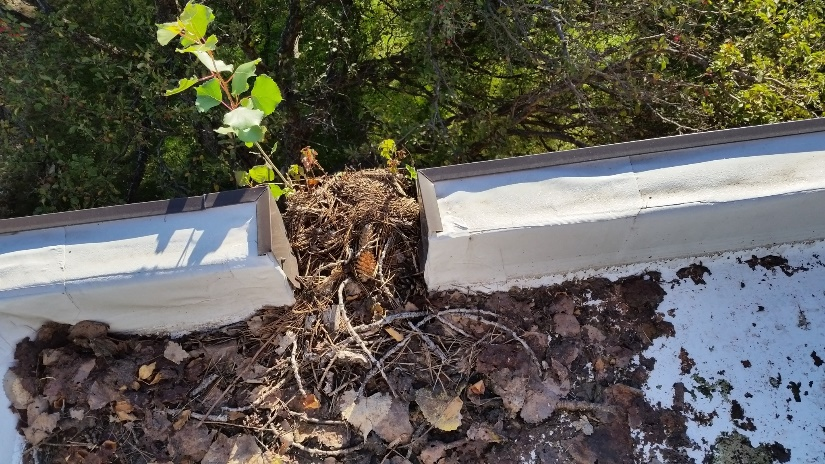 This roof was installed in November; just a year later it's host to maple saplings from the adjacent trees.